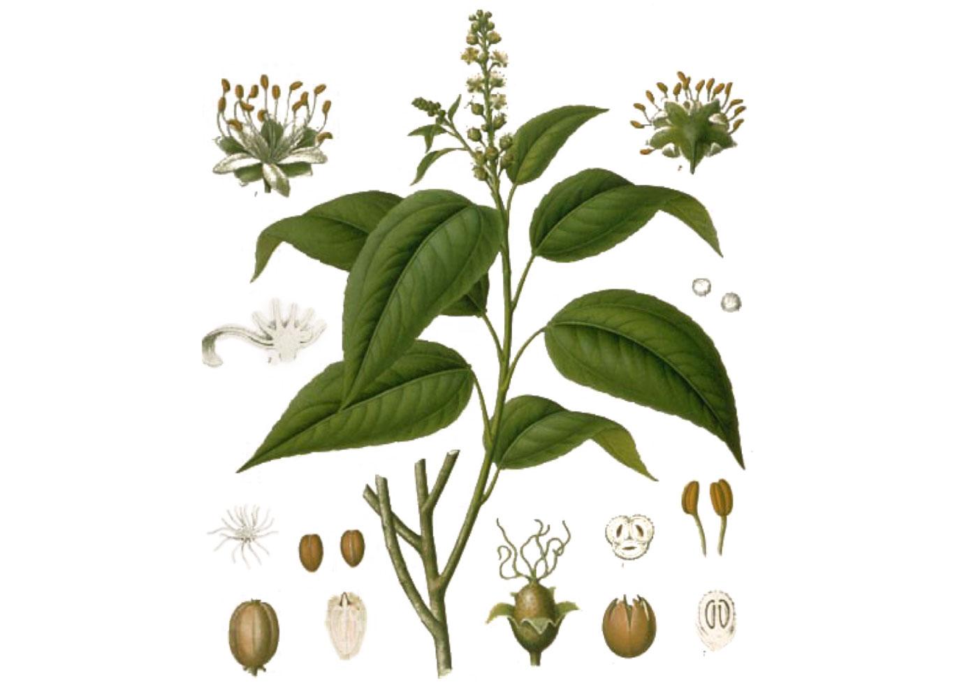 Croton-tiglium-L